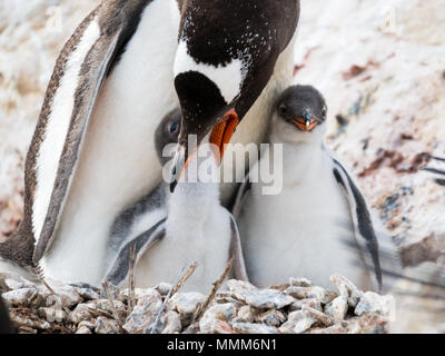 Gentoo penguin, Pygoscelis papua, mother feeding a hungry chick on nest in colony on Cuverville Island, Antarctic Peninsula, Antarctica - Stock Photo