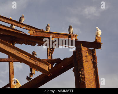 White and gray postal pigeons sit on metal beams against a blue sky background. - Stock Photo