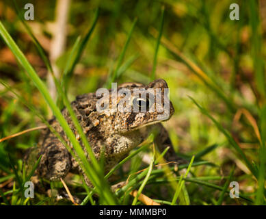 Eastern American Toad in the grass. Common toad found in America. - Stock Photo