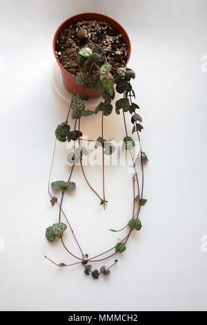 Ceropegia woodii succulent plant isolated on white background - Stock Photo