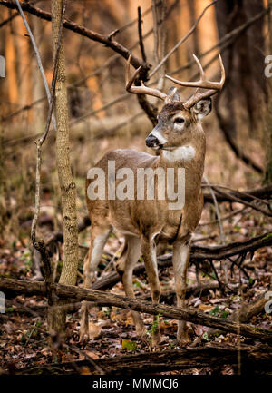 An eight point white tailed deer buck in the forest of Ohio. - Stock Photo