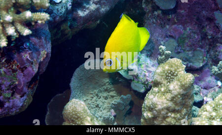 Lemonpeel angelfish, Centropyge flavissima, Wallis Island, Wallis & Futuna, South Pacific - Stock Photo