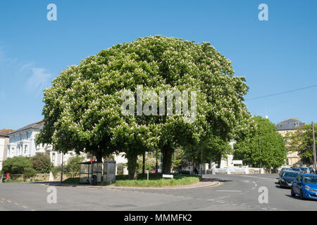 Horse chestnut (Aesculus hippocastranum) trees, on small village green in St Leonards, East Sussex,UK - Stock Photo
