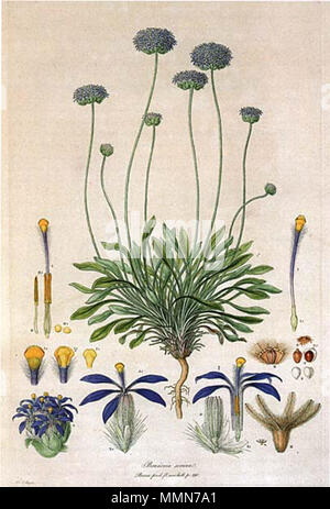 . This is a scan of Plate 10 from Ferdinand Bauer's Illustrationes Florae Novae Hollandiae. The plant featured is Brunonia australis (Blue Pincushion), then known as Brunonia sericea.  . early 19th century. Ferdinand Bauer (1760–1826) 102 Brunonia australis-Bauer - Stock Photo