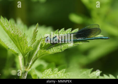 A stunning male Banded Demoiselle (Calopteryx splendens) perching on a stinging nettle. - Stock Photo