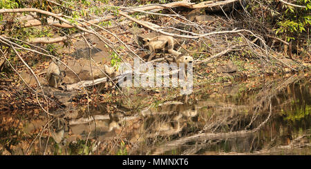 Langur monkeys reflected in watering hole, Bandhavgarh National Park, India - Stock Photo