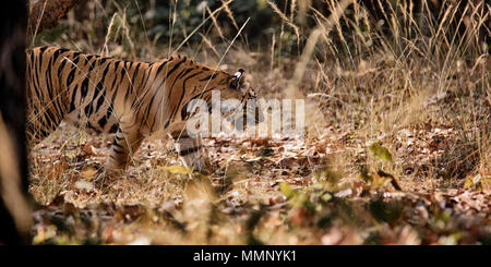 Tiger in Bandhavgarh National Park, India - Stock Photo
