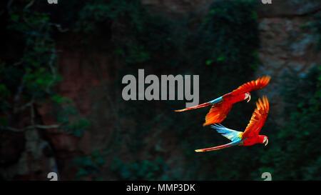 Red and green macaws, Ara chloropterus, fly in the Buraco das Araras sandstone crater, Bonito, Mato Grosso do Sul, Brazil - Stock Photo