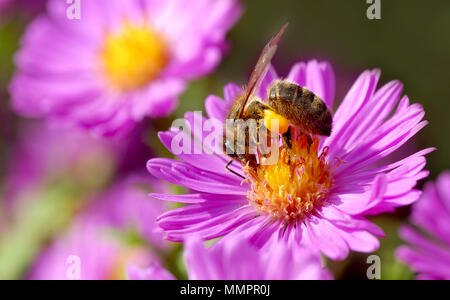 Macro of honey bee (Apis) feeding on aster flower with pollen - Stock Photo