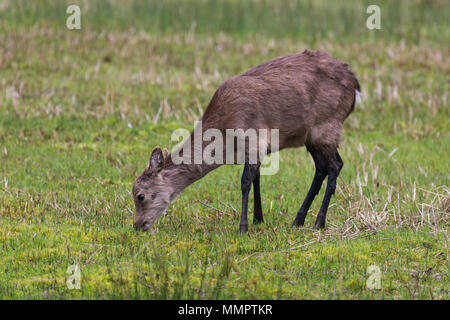 Female / hind Sika Deer (Cervus nippon) also known as spotted or Japanese deer with shaggy brown winter coat standing eating grass in field, Dorset UK - Stock Photo