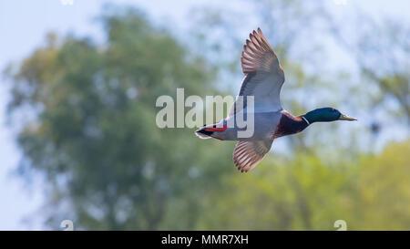 Wild duck flies. Mallard drake Flying. - Stock Photo