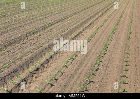 Rows of young green corn plants. Corn seedling on the field. - Stock Photo
