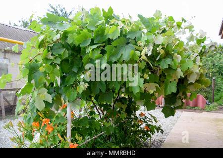 Pavilions with grapes. A lush grape bush. - Stock Photo