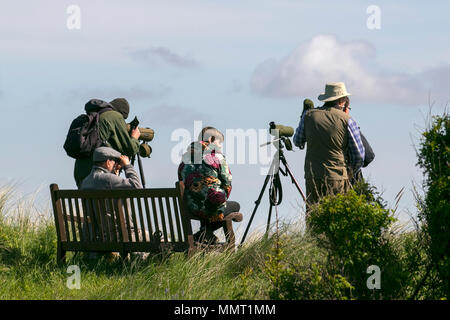 Southport, Merseyside, UK 13/05/2018. UK Weather. Uncommon sighting of Glossy Ibis as birdwatchers or birders descend on the resort to view a pair of these birds on the RSPB Marshside Nature Reserve. Credit: MediaWorldImages/AlamyLiveNews - Stock Photo