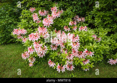 Structural gardening: Pretty evergreen pink flowers of an azalea shrub in full bloom flowering in a Surrey garden in spring, flourishing on acid soil - Stock Photo