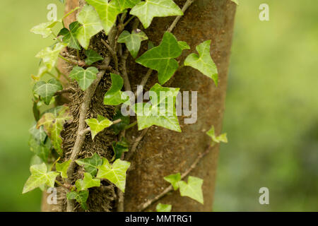 Ivy, Hedera helix, climbing a tree in deciduous woodland North Dorset England UK GB - Stock Photo