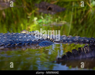 A baby alligator goes for a ride on top of it's mother in the Florida Everglades. Mother alligators guard their young for up to a year. - Stock Photo