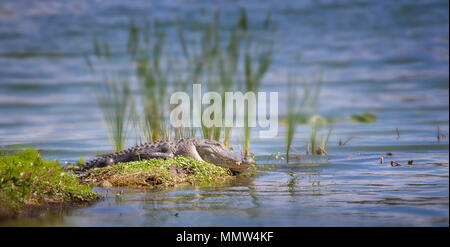 American Alligator sunning itself on a small island in the Florida Everglades. The American Alligator is the apex predator of the Everglades. - Stock Photo