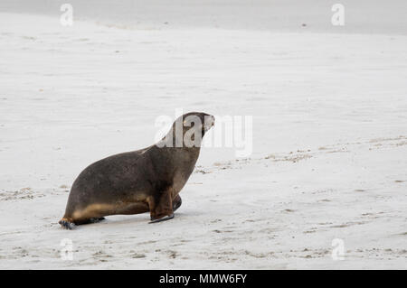 Wild male New Zealand, or Hookers, Sea Lion (Phocarctos hookeri) on New Zealand's Otago Peninsula. This is the world's rarest sea lion species. - Stock Photo