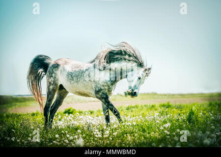 Gray stallion horse running on summer pasture - Stock Photo