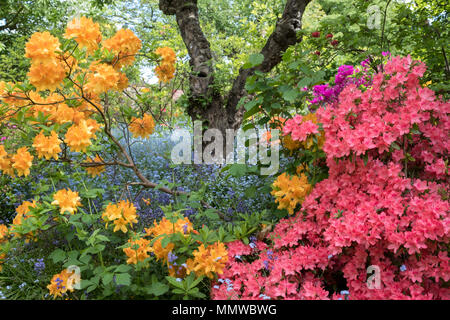Brightly coloured Japanese azaleas in flower outside the walled garden at Eastcote House Gardens, UK, with blue forget-me-not in the background. - Stock Photo