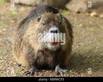 Portrait of a large coypu, also known as the nutria. - Stock Photo