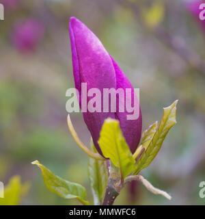Single Pink Budding Magnolia - Stock Photo