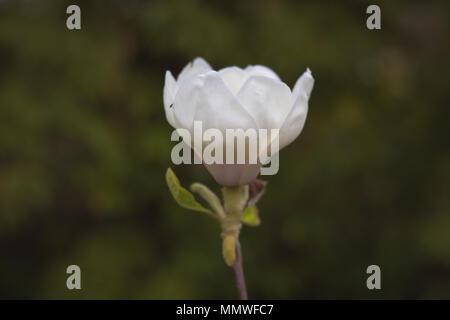 Single white magnolia - Stock Photo
