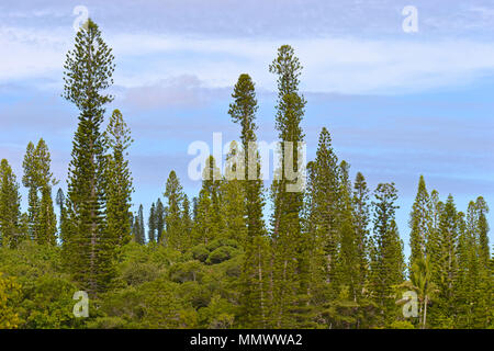 The endemic Cook pines or coral reef araucaria, Araucaria columnaris, Isle of Pines, New Caledonia, South Pacific - Stock Photo