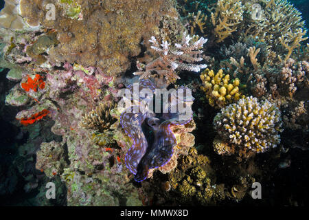 Giant clam, Tridacna gigas, Seche Croissant, Noumea, New Caledonia, South Pacific - Stock Photo