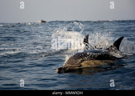 Long-beaked common dolphin, Delphinus capensis, swims on the surface off Coffee Bay, Eastern Cape Wild Coast, South Africa - Stock Photo