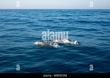 Common bottlenose dolphins, Tursiops truncatus, Coffee Bay, Eastern Cape Wild Coast, South Africa, Indian Ocean - Stock Photo