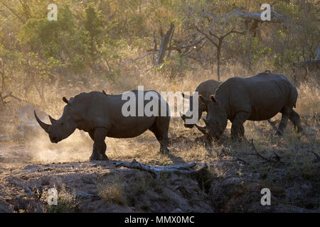 Family of southern white rhinoceros, Ceratotherium simum simum, a threatened species, walks in the savanna at the Kruger National Park, South Africa - Stock Photo