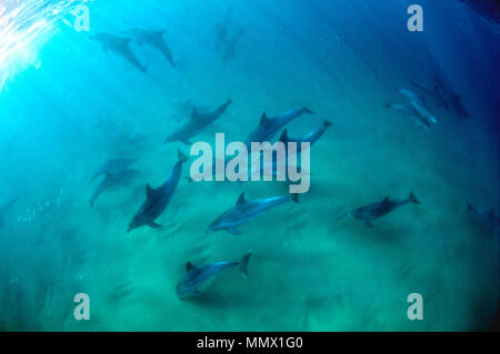 Bottlenose dolphins, Tursiops sp., Coffee Bay, Eastern Cape Wild Coast, South Africa - Stock Photo
