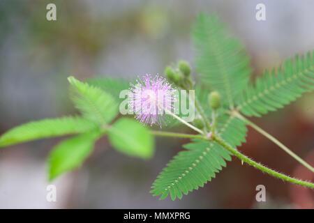 Sensitive Plant, Sensitiva (Mimosa pudica) - Stock Photo