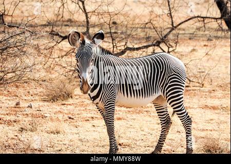 Lone male Grevy's or Imperial zebra in a dry savannah landscape. Sunset scene Samburu National Park, Kenya - Stock Photo