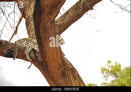 A leopard (Panthera pardus) waits patiently for prey, high up in the fork of a tree, Beautiful reclining animal, gazes intently into the distance - Stock Photo