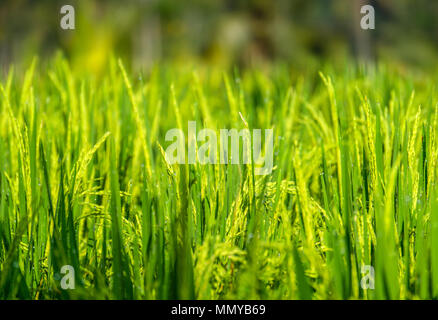 Close-up of growing green rice field with dewdrop in Ubud countryside of Bali Island, Indonesia - Stock Photo