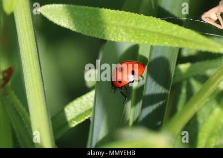 Ladybug ladybird Crawling alone on a  green stem crawling along towards the spider Black spots - Stock Photo