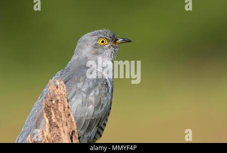 Male common cuckoo (Cuculus canorus) - Stock Photo