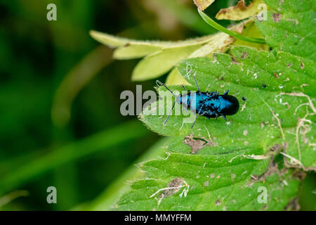 Mating pair of blue mint beetles - Stock Photo