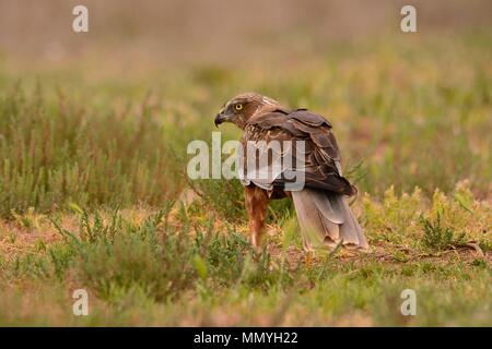 Male western marsh harrier, Circus aeruginosus on meadow background. - Stock Photo