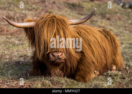 Close-up of a Scottish highland cow in a field in Glencoe, Scotland. - Stock Photo