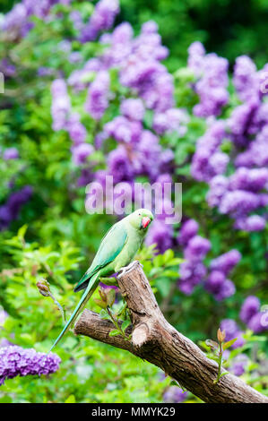 Ring-necked parakeet (Psittacula krameri) in a south London garden - Stock Photo