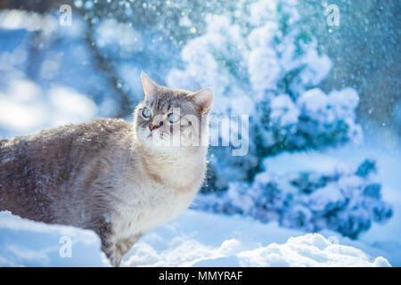 Cute Siamese Cat walking in the deep snow in winter - Stock Photo