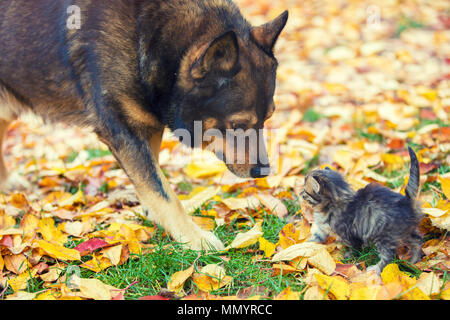 A big dog and a little kitten are the best friends playing together outdoors. In the autumn, they sniff each other on the grass