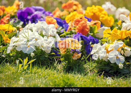 Blossoming pansies flowers in the garden - Stock Photo