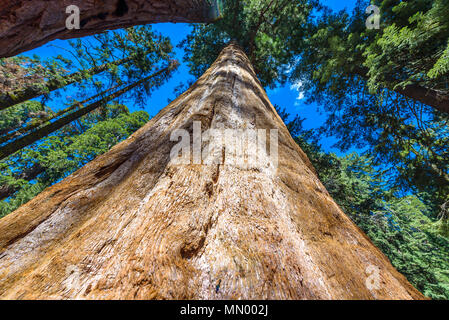 Giant sequoia forest - the largest trees on Earth in Sequoia National Park, California, USA - Stock Photo