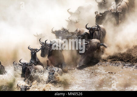 Wildebeest crossing the Mara River during the annual great migration. Every year millions will make the dangerous crossing when migrating between Tans - Stock Photo