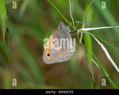 The small heath (Coenonympha pamphilus) - Stock Photo